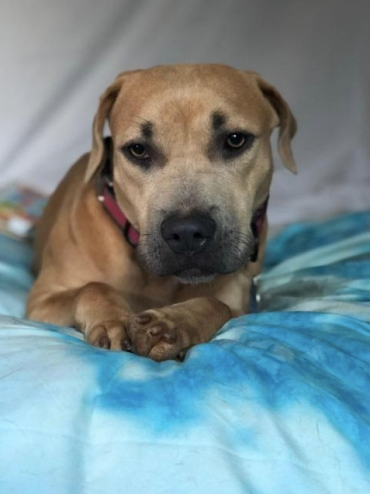Beauty Bella Rose is an absolutely gorgeous doggy. She is 1 year old. A bit on the shy side Bella would do best in a home with another dog. She loves to bond with canine companions. It help her come out of her shell