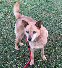 Anabella is a small pretty little fox. She loves to go on walks and hang out at home.