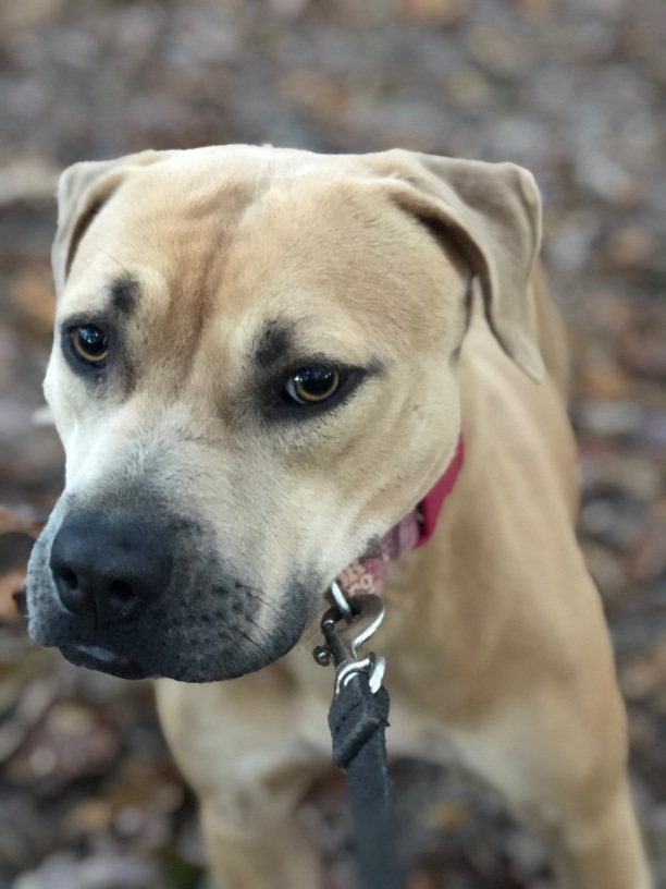 Supemodel Bella Rose is a stunning dog. Bella Rose is shy and quiet but loves to play with all dogs. She needs other dogs around to bring out her confidence and personality. She is a gem.
