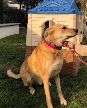 Ranger is a shepherd mix and is 6 years old. He is in California, and is a courtesy post for another rescue group. They will drive him anywhere to an approved adopter
