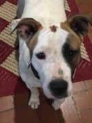 Mia - the Jack Russell terrier mix