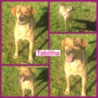 Tabitha the yellow lab mix 14 moths old