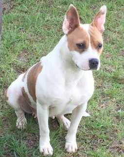 Little pocket pittie Pinta is a mix. She is a very playful and fun girl.
